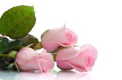 Rosafarbene Rosen auf weißem Hintergrund Stockbilder