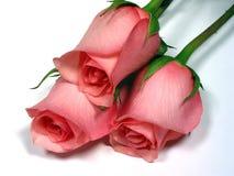 Rosafarbene Rosen auf weißem Hintergrund Stockbild