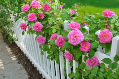 Rosafarbene Rosen auf weißem Zaun stockbild