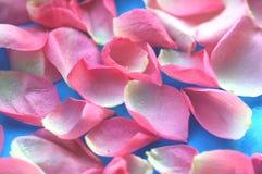 Rosafarbene Rosen-Blumenblätter 01 Stockfotos