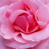 Rosafarbene Rosen-Blumenblätter 01 Stockbilder