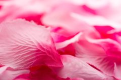 Rosafarbene Rosen-Blumenblätter 01 Stockfoto