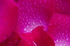 Rosafarbene Rosen-Blumenblätter 01 Stockbild