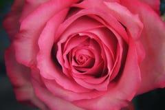 Rosafarbene Rosen-Blumenblätter 01 Lizenzfreie Stockbilder