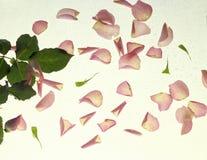 Rosafarbene Rosen-Blumenblätter auf Weiß lizenzfreie stockbilder