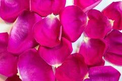 Rosafarbene Rosen-Blumenblätter 01 Muster Stockfoto