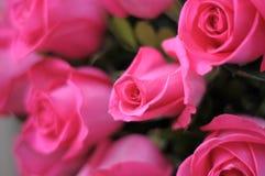 Rosafarbene Rosen in der Blüte Stockbilder