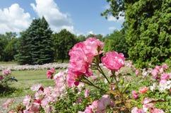 Rosafarbene Rosen in der Blüte Stockbild