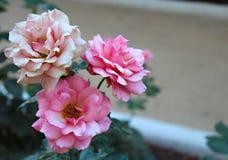 Rosafarbene Rosen in einem Garten stockbild
