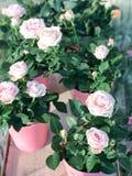 Rosafarbene Rosen im Flowerpot Stockbilder