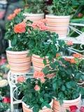 Rosafarbene Rosen im Flowerpot Stockfotos