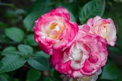 Rosafarbene Rosen im Garten Stockfotografie