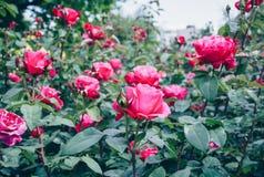 Rosafarbene Rosen im Garten Stockfoto