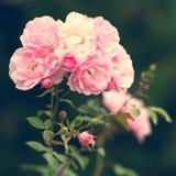 Rosafarbene Rosen im Garten Lizenzfreie Stockfotografie