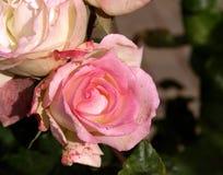 Rosafarbene Rosen von Argentinien Stockbild