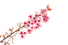 Rosafarbene Sakura-Blüte Lizenzfreies Stockfoto