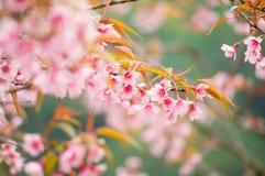 Rosafarbene Sakura-Blume Lizenzfreies Stockfoto