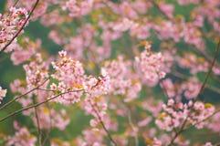 Rosafarbene Sakura-Blume Stockbild