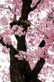 Rosafarbene Sakura-Blumen in Osaka, Japan Stockfoto