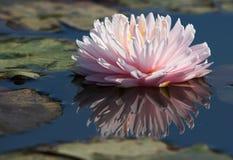 Rosafarbene Schönheit stockfoto