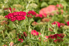 Rosafarbene Schafgarbe-Blumen Stockfotografie