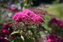 Rosafarbene Schafgarbe-Blumen Stockfotos