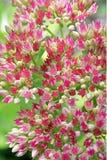 Rosafarbene Sedum Blumen Lizenzfreies Stockbild