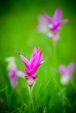 Rosafarbene Siam-Tulpe Lizenzfreies Stockbild