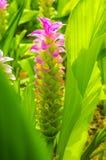 Rosafarbene Siam-Tulpe Stockbilder