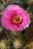 Rosafarbene stachelige Birnen-Kaktus-Blüte Stockfoto