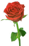 Rosafarbene Tautropfen des Rotes Lizenzfreies Stockbild