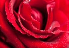 Rosafarbene Tautropfen des Rotes. Stockfotos