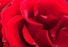 Rosafarbene Tautropfen des Rotes. Stockfotografie
