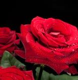 Rosafarbene Tautropfen des Rotes. Stockfoto