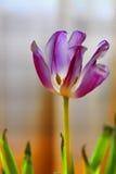 Rosafarbene Tulpe Stockfotos