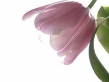 Rosafarbene Tulpe Lizenzfreies Stockfoto
