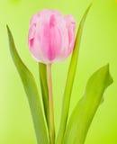 Rosafarbene Tulpe Lizenzfreie Stockfotografie