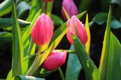 Rosafarbene Tulpe stockfotografie