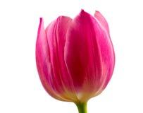 Rosafarbene Tulpe auf weißem Hintergrund Stockbild