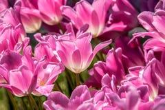 Rosafarbene Tulpe-Nahaufnahme Stockfoto