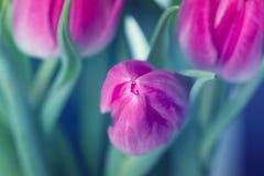 Rosafarbene Tulpe Tulpen Playnig mit Leuchte Blüht Fotokonzept Ho Stockfoto
