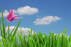Rosafarbene Tulpe unter blauem Himmel Lizenzfreie Stockfotografie