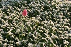 Rosafarbene Tulpe unter weißen Gänseblümchen Stockfotografie