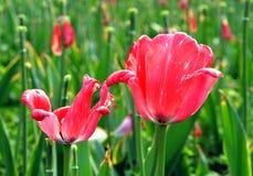 Rosafarbene Tulpeblumen Stockbild