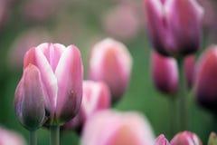 Rosafarbene Tulpen Stockfotografie