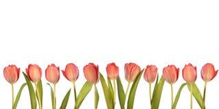 Rosafarbene Tulpen Lizenzfreie Stockbilder