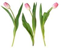 Rosafarbene Tulpen stockfoto