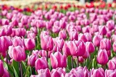 Rosafarbene Tulpen Lizenzfreie Stockfotos