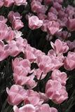 Rosafarbene Tulpen Stockbild