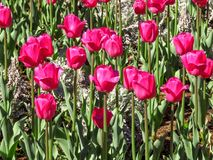 Rosafarbene Tulpen auf dem Gebiet Stockfoto